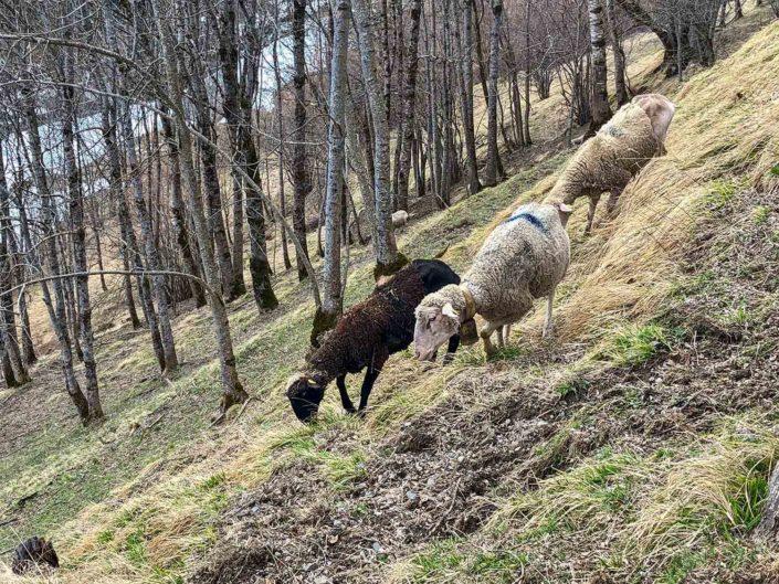 Des moutons à Soulan
