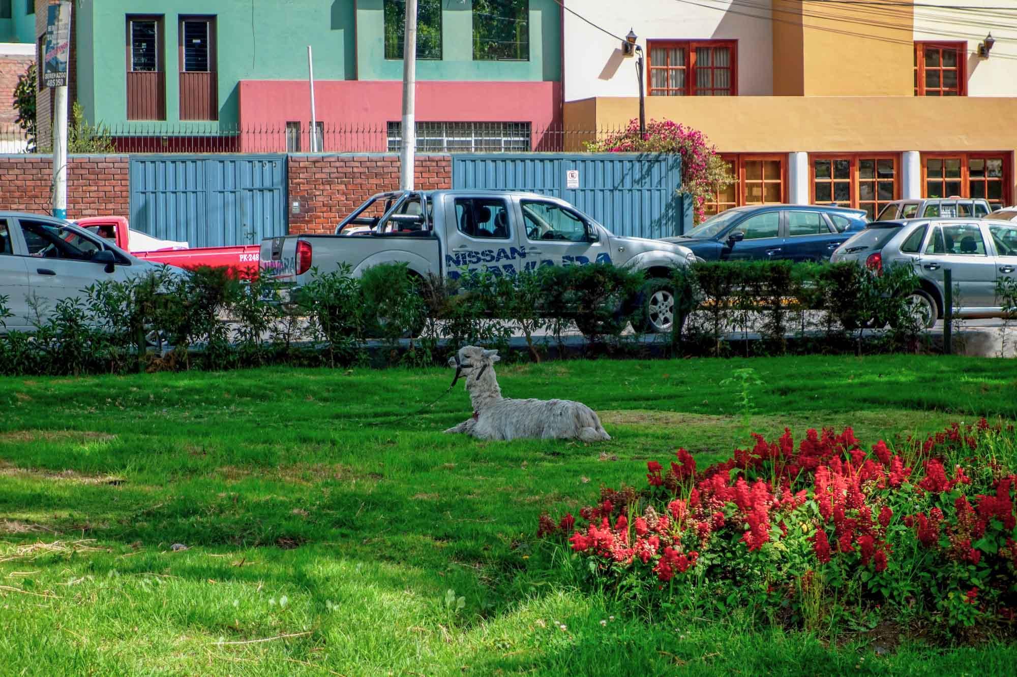 Un lama dans les rues d'Arequipa